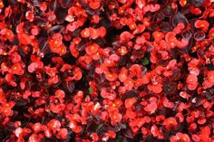 Wax begonias are a durable, ever-blooming plant that provides sweeping color. Here are tips on how to propagate and grow them indoors or outdoors. Rare Flowers, Beautiful Flowers, Annual Flowers, Burning Bush, California Garden, Types Of Vegetables, Plant Cuttings, Herb Seeds, Hardy Perennials