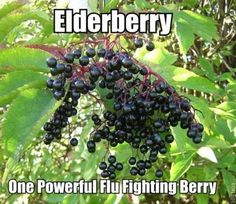 Elderberry: One Powerful Flu Fighting Berry. This is one of the powerful immune-boosting, body-protecting, and flu-fighting natural remedy.