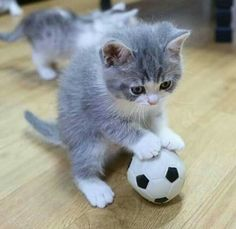Kitten and soccer ball <3                                                                                                                                                                                 More