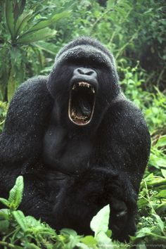 Image detail for -mountain gorilla gorilla gorilla beringei c. Silverback Gorilla, Gorilla Gorilla, Los Primates, Gorillas In The Mist, Angry Animals, Magnificent Beasts, Ape Monkey, Mountain Gorilla, Wild Creatures