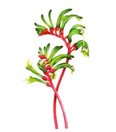 Flower Drawing Australian wildflowers - kangaroo paw - Valued for their ecological and cultural values, Australia's floral emblems represent the beauty and diversity of all our native flowers. Botanical Tattoo, Botanical Drawings, Botanical Flowers, Botanical Prints, Australian Wildflowers, Australian Native Flowers, Australian Plants, Illustration Blume, Botanical Illustration