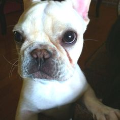 french bulldog from Modern Family...obsessed | cute | Pinterest ...