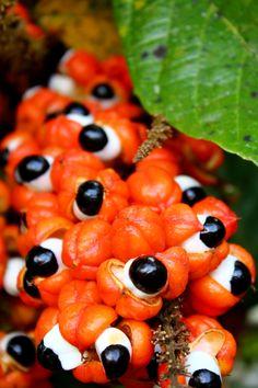 """O nome """" GUARANÁ"""", de origem tupi é de significado controvertido, mas uma das traduções propostas é GUARÁ: vermelho + NÃ: de verdade, significando algo como """" vermelho de verdade"""" em referência à cor vermelho vivo do fruto."""