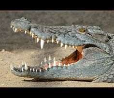 Crocodile with open mouth by Tambako the Jaguar, via Flickr