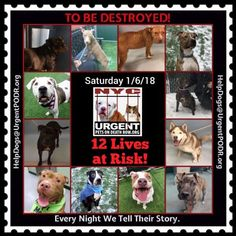 TO BE DESTROYED 01/06/18 - - Info    https://newhope.shelterbuddy.com/Animal/List  To rescue a Death Row Dog, Please read this:http://information.urgentpodr.org/adoption-info-and-list-of-rescues/ List of NH Rescues:http://www.nycacc.org/get-involved/new-hope/nhpartners To view the full album, please click ...-  Click for info & Current Status: http://nycdogs.urgentpodr.org/to-be-destroyed-4915/