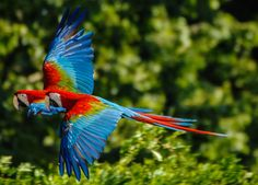flying red and blue macaws by Guilherme Cardoso on 500px