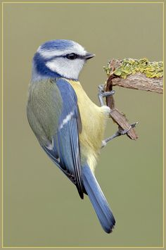 Blue Tit -  Sweet Looking Bird :) will you spot one of these in your garden 26/27 Jan? #birdwatch #pinittowinit