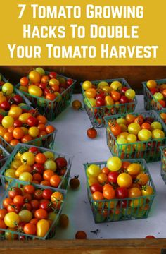 7 Hacks Used By Prize Winning Gardeners To Double Their Tomato Harvest Commer. 7 Hacks Used By Pri Growing Tomatoes In Containers, Growing Veggies, Grow Tomatoes, Dried Tomatoes, Home Vegetable Garden, Tomato Garden, Veggie Gardens, Organic Vegetables, Fruits And Veggies