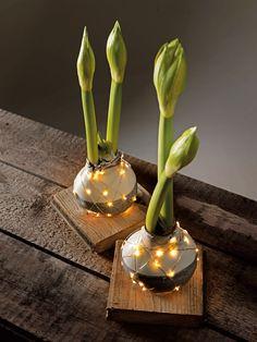 Bind lichtjes om de bol van een amaryllis voor een subtiel kerstsfeertje