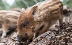 Download wallpapers wild boar, wildlife, forest animals, small wild boar, trees