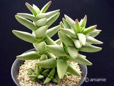 Crassula laticephala