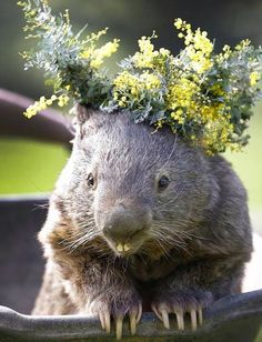 Happy Birthday Patrick the Wombat! This 29 year old is the world's oldest living wombat. Given that Patrick has never had children, or any partners in general, probably makes him the oldest living wombat virgin as well! Baby Animals, Funny Animals, Cute Animals, Cute Wombat, Cute Australian Animals, The Wombats, Australia Animals, Quokka, Mundo Animal