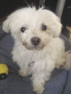 Look at his adorable scruffy Maltese face. This adoptable little six pound guy couldn't be any sweeter. #SF #BayArea