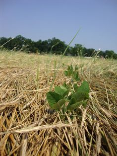 """""""Smarter ways to deal with Round-up resistant weeds than switching to more toxic herbicides."""" -Michael Pollan's article share """"Oct. 22, 2012  Scientists aim to sustainably outsmart 'super weeds' by Sarah Thompson"""" via Cornell Univ."""