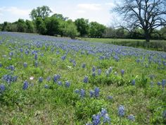 Bluebonnets...TX State Flower