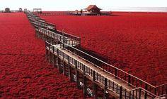 In-Cina-l-incantevole-spiaggia-rossa-Panjin-Red-Beach