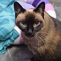 House Springs, MO - Siamese. Meet Koko a Cat for Adoption.