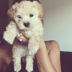 I wish my parents would buy me a maltipoo Puppies And Kitties, Cute Puppies, Cute Dogs, Doggies, Animals And Pets, Baby Animals, Cute Animals, Maltipoo, Havanese