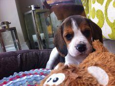 Ovie my puppy Beagle x