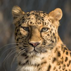 Amur Leopard Photo by Philippe Chavinier — National Geographic Your Shot