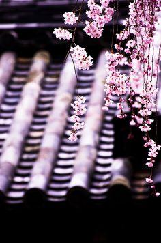桜 by yukio.s, via Flickr
