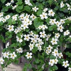 Bacopa. This is the gardeners' secret weapon. The most beautiful trailer.