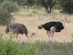 """Ostriches (Struthio camelus) are sexually dimorphic. The male (right) has a pinkish neck and legs, and black and white feathers. The female (left) is mostly brown. Ostriches, White Feathers, Legs, Black And White, Female, Brown, Animals, Black White, Animales"