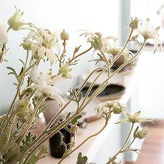 Morning light and flannel flower stubble. #chinaclay #clovelly #australianceramics #functionalceramics #ceramicsgallery #flowers #florist #flannelflower