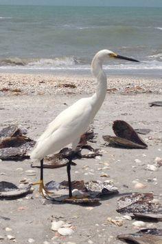 Egret, Sanibel Island FL, June 2013