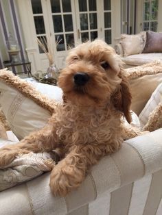 Cockapoo Dog, Cavapoo Puppies, Goldendoodle, Cute Dogs And Puppies, Doggies, Kitten Love, Cute Funny Animals, Puppy Love, Dog Cat
