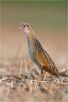 emuwren: The Corn Crake - Crex crex, is a bird in the rail family. It breeds in Europe and Asia as far east as western China, and migrates ...