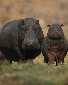 Mother and baby hippo. More people are killed by hippos than any other animal in Africa.