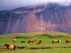 Icelandic Horses in a Peaceful Meadow dominated by a Volcanic Rose Tinted Mountain in Iceland