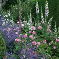 Gertrude Jekyll - Plant roses now for abundant summer blooms #CottageGarden