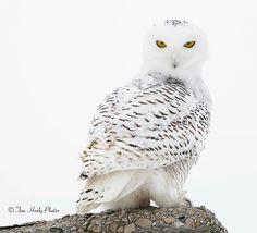 Owl elegance