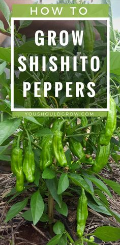 Backyard vegetable garden: how to grow shishito peppers, organic vegetable gardening tips