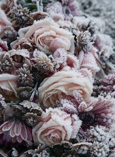Rose Beautiful pink rose Frost on Roses Frozen Rose, Colorful Roses, Winter Beauty, Belleza Natural, Belle Photo, Mother Nature, Beautiful Flowers, Beautiful Beautiful, Absolutely Gorgeous