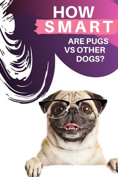 The Pug breed is not really known to be smart. In fact, many people think that this dog is dumb, but you need to know…