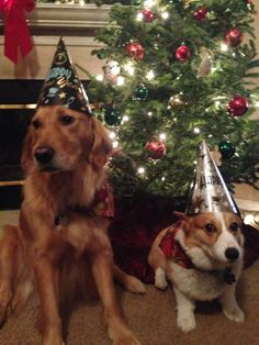 "corgi-addict: ""My corgi was not happy to wear this…he looks like a wizard! Happy New Year!"""