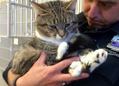 cat with thumbs polydactyl from shelter to sucess