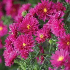 Aster novi-belgii 'Royal Ruby'  HArdy perennial  HW45cm  Flower Aug - Oct