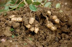 How to Grow Peanuts | Garden How