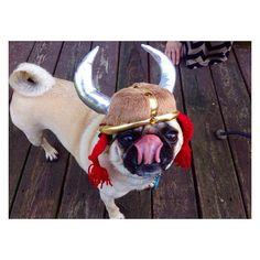 zanehollingsworth: Today in pug fashion.