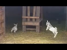 Playful Baby Goats