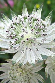 white astrantia اللون الأبيض هو رمز النقاء والطهارة ~~~~