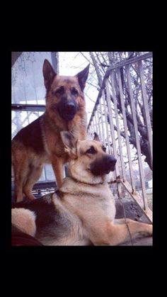 Two beautiful German Shepherd dogs