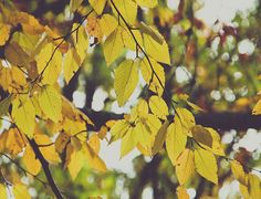 Soft Yellow Leaves Fine Art Photograph on Etsy, $15.00