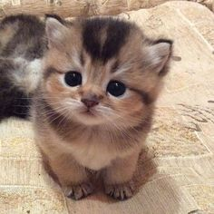Smol kitten - your daily dose of funny cats - cute kittens - pet memes - pets in clothes - kitty breeds - sweet animal pictures - perfect photos for cat moms Cute Kittens, Kittens And Puppies, Kittens Cutest Baby, Ragdoll Kittens, Bengal Cats, Siamese Cats, Cute Dogs And Cats, Cute Pets, Cute Kitten Pics