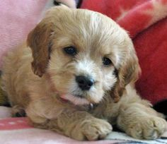 Rosie the Cocker Spaniel mix puppy-that's a face to melt your heart!