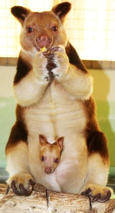It's a UK first for Belfast Zoological Gardens, as a Goodfellow's Tree Kangaroo has been born! Learn more: http://www.zooborns.com/zooborns/2014/10/new-joey-is-a-first-for-belfast-zoo.html
